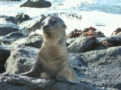 Day 1 - Playful Sealion pup on the rocks