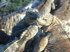 Day 4 - Marine Iguanas are pretty much everywhere in the Galapagos!