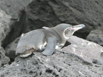 Day 2 - We spotted this Galapagos Penguin on the rocks near Bartolome Island. We only saw a handful on the whole trip as 90% live in the western islands. It is the only penguin that lives north of the equator.