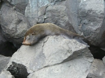 Day 3 - The Galapagos Fur Seal. This was the only time we encountered the Fur Seals on the rocks of Genovesa. Their main differences to the Common Sealions are their coats and the ears - the fur seals ears protrude. The Galapagos Fur Seals were hunted almost to extinction in the 1800s.