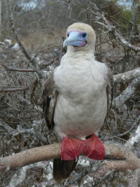 Day 3 - Although the smallest and least often seen by humans in Galapagos, Red-footed Boobies are the most abundant of the three species. However, since they feed far out to sea, they nest in the outermost islands with access to open ocean and lay a single egg.