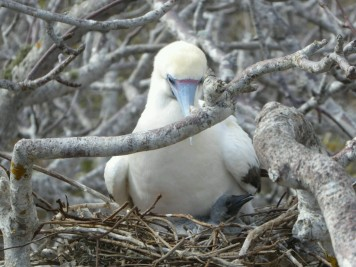 Day 3 - The Red Footed Boobies are the only Boobies (of the 3) to nest in trees, Nazca and Blue Foot nest on the ground. 95% of Red Footed have brown bodies while 5% (like this one shown) are white and black