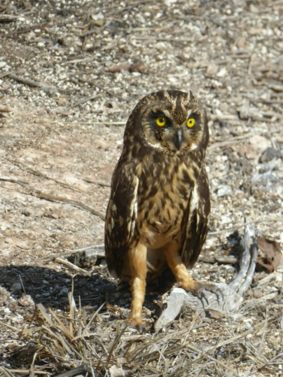 Day 3 - Our guide was super excited to spot this Galapagos Short-eared Owl on Genovesa. They are 1 of the 3 predatorial species in the archipelago and the only one found on Genovesa. They feed on the large seabirds baby chicks