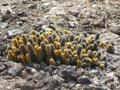 Lava cactus - these were found on several of the islands
