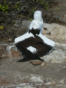 Day 3 - A Nazca Boobie folds its wings this way to get rid of parasites by cooking them