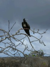 Day 3 - Juvenile Frigate bird on Genovesa