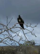 Day 3 - Juvenile Frigate bird on Genovesa