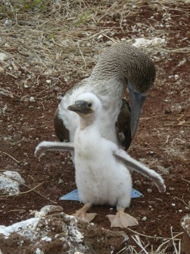 Day 4 - Blue Footed Boobie with a chick on Lobos Island
