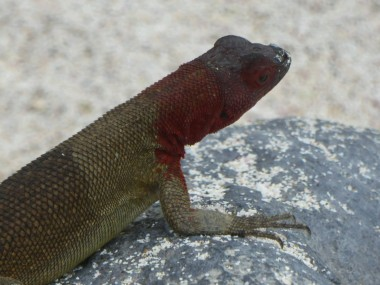 Day 5 - Lava Lizard, there are many sub-species with different colourations