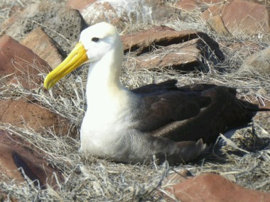 Day 5 - The main drawback to Espanola is the Waved Albatross - this is the only place they breed in the Galapagos
