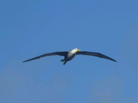 Day 5 - Waved Albatross in flight