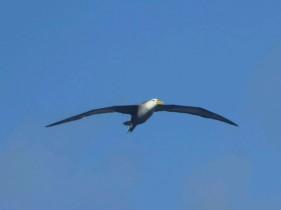 Day 5 - Waved Albatross in flight