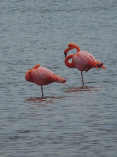 Day 6 - Colourful flamingos in the lagoon of Floreana